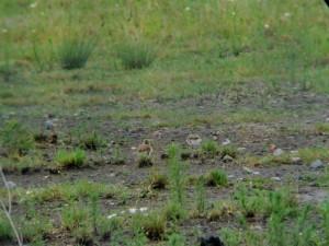 Die Beiden Jungvögel am 16.06.2011 Foto: K.Nowack