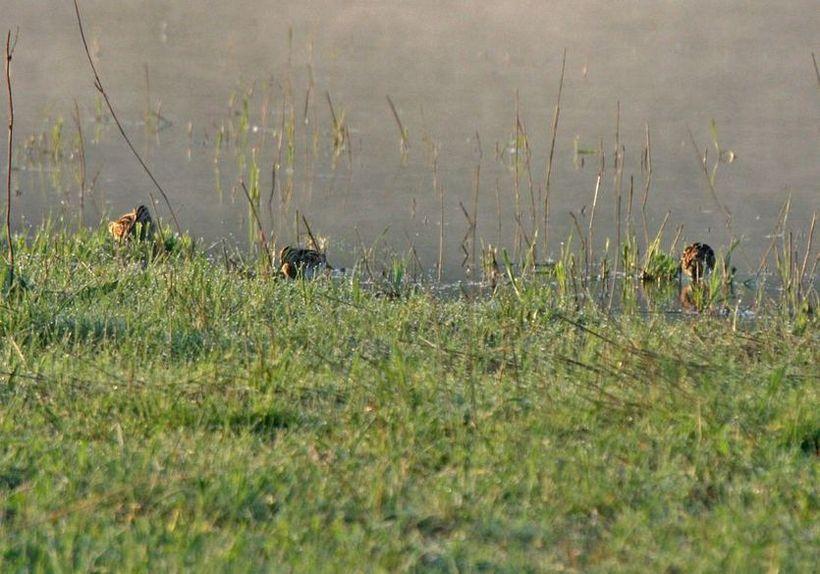 Bekassinen an der Vernässungsfläche der Kiebitzwiese am 25.04.2011 Foto: Gregor Zosel