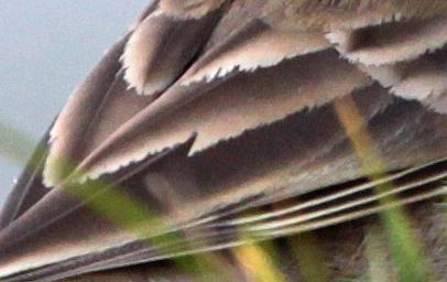 Abnutzungschäden im Flügel eines Bergpiepers vom 04.12.2011, Foto: Bernhard Glüer