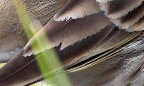 Derselbe Vogel? - Abnutzungschäden im Flügel eine Bergpiepers vom 18.12.2011, Foto: Bernhard Glüer