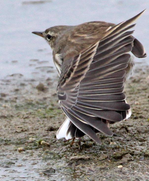 ...beim Räkeln zeigt er im gestreckten Flügel noch die ebenfalls typischen Flügelbinden und die weißen, äußeren Steuerfedern des Schwanzes, 30.10.2011, Foto: Bernhard Glüer