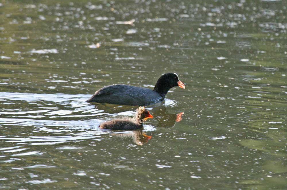 Bleßralle mit Jungvogel auf dem Ententeich am 28.06.11 Foto: Gregor Zosel