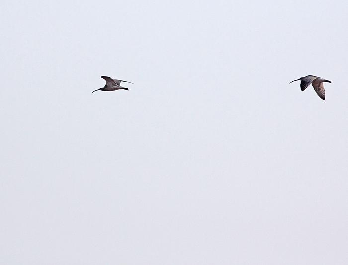 Zwei abstreichende Große Brachvögel im Hemmerder Ostfeld, 16-09.2011, Foto: Bernhard Glüer