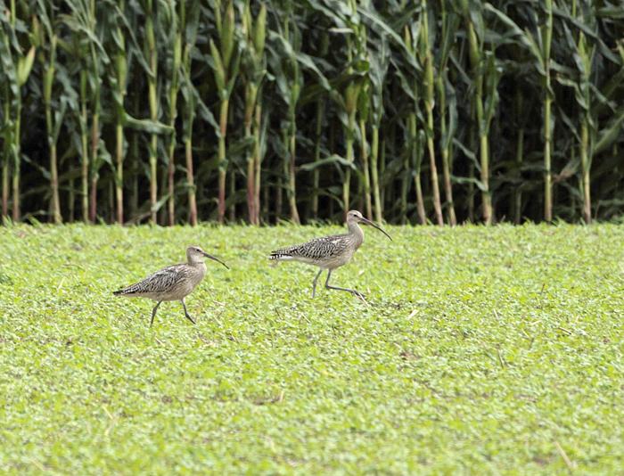 Adulter und diesjähriger Großer Brachvogel (kürzerer Schnabel!) in einer Feldflur südlich Werl, 29.08.2011, Foto: Bernhard Glüer