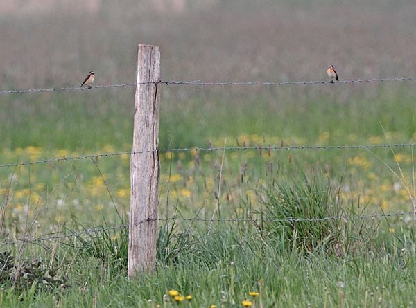 Braunkehlchen in typischer Manier auf Weidezaun in den Hemmerder Wiesen, 29.04.2011 Foto: Bernhard Glüer