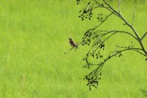 Ein weiteres von insgesamt sieben rastenden Braunkehlchen im NSG Lippeaue zwischen Werne und Stockum am 23.08.2011 Foto: K.Nowack