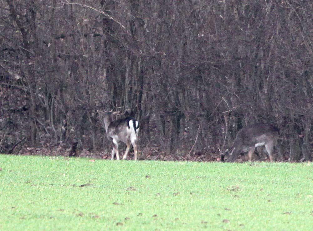 Erst auf den zweiten Blick erkennbar: dies sind keine Rehe! - Damwild bei Hemmerde, 29.12.2011 Foto: Bernhard Glüer