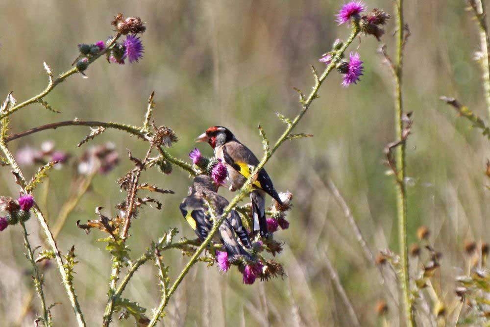 Interessiert schaut sich der Jungvogel die Ernte der Distelsamen an am 01.08.11 Foto: Gregor Zosel