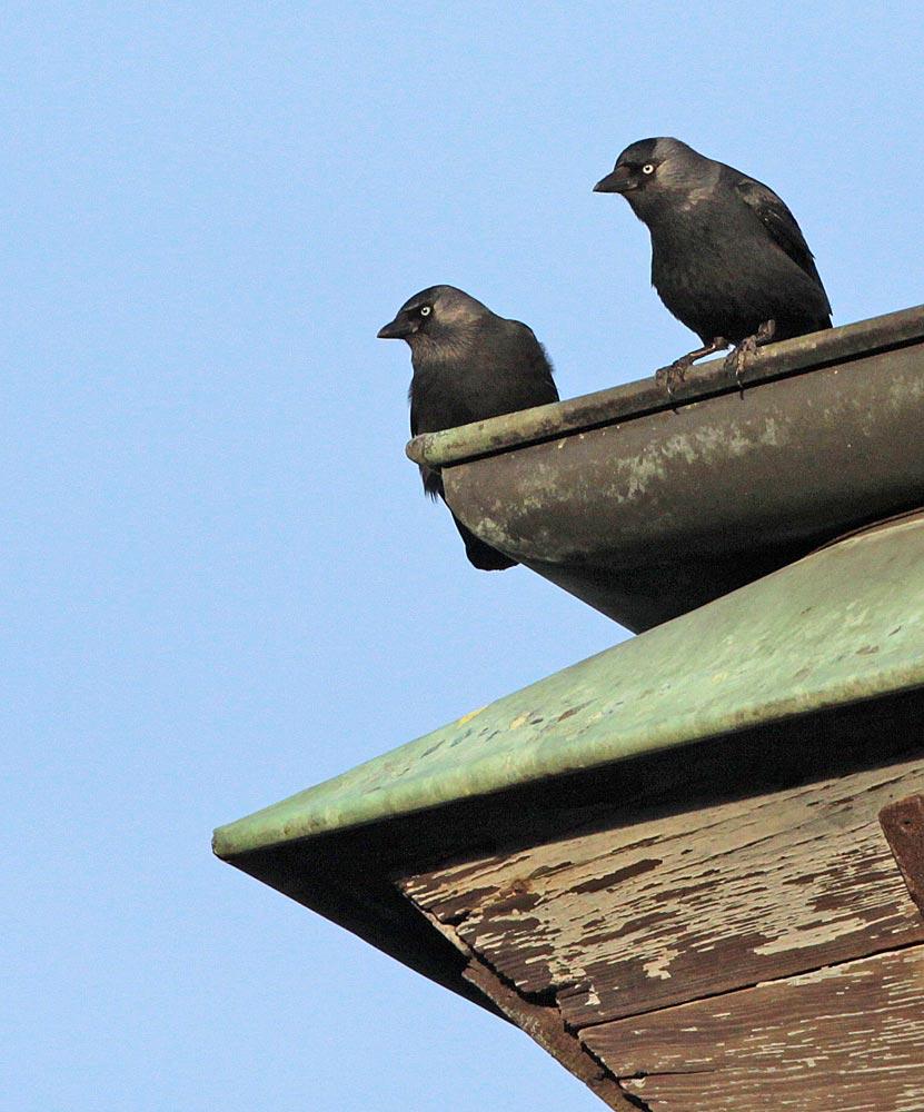 Dohlenpaar auf der Dachkante des Kirchturms in Frömern, 28.12.2011 Foto: Bernhard Glüer