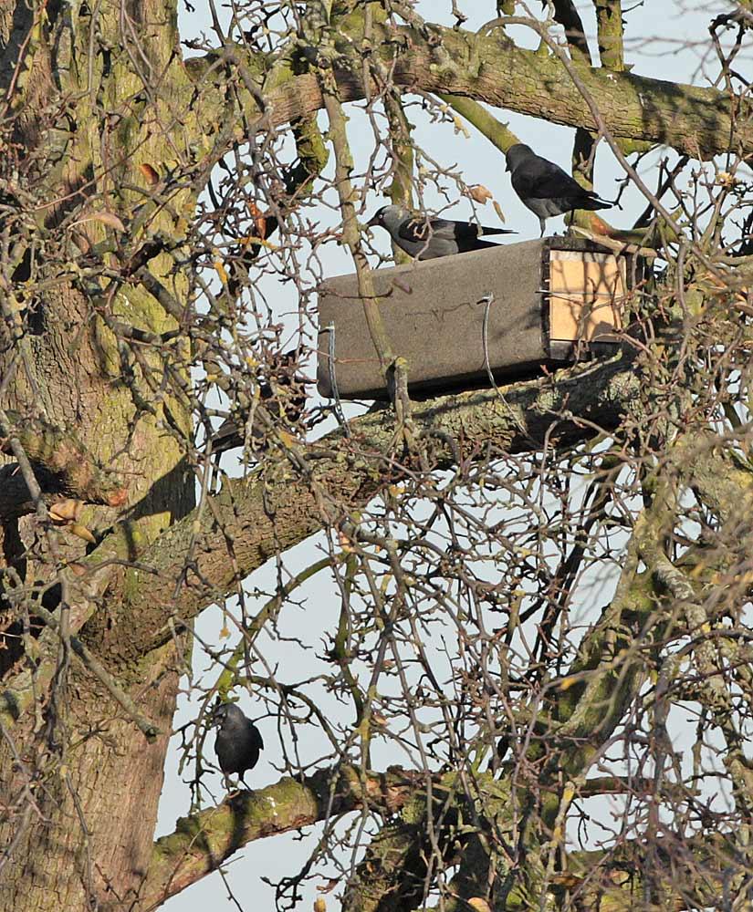 Dohlen in Hemmerde untersuchen eine Steinkauzröhre, 30.11.2011 Foto: Bernhard Glüer