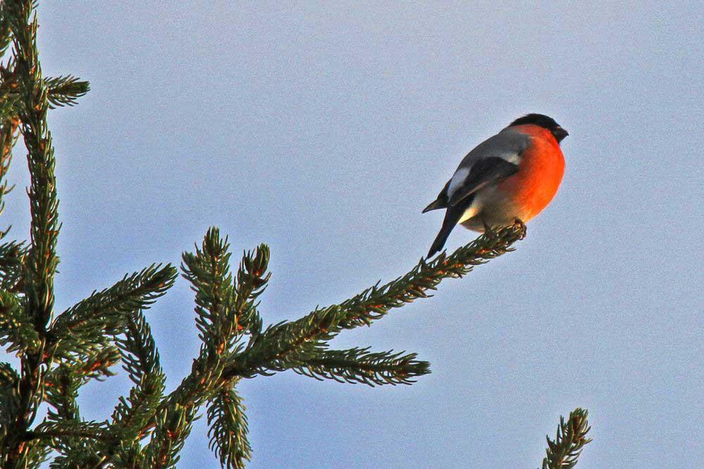 Hoch oben im Baumwipfel erklingt das Lied des Dompfaffs am 31.10.11 Foto: Gregor Zosel
