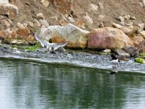 der Zweite Aussternfischer landet am Wehr an der Lippestrasse in Werne am 05.08.2011 Foto: K.Nowack