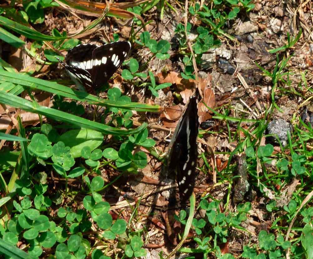 Kleiner Eisvogel und Großer Schillerfalter im NSG Cappenberger Wälder am 05.06.2011 Foto: Friedrich Angerstein