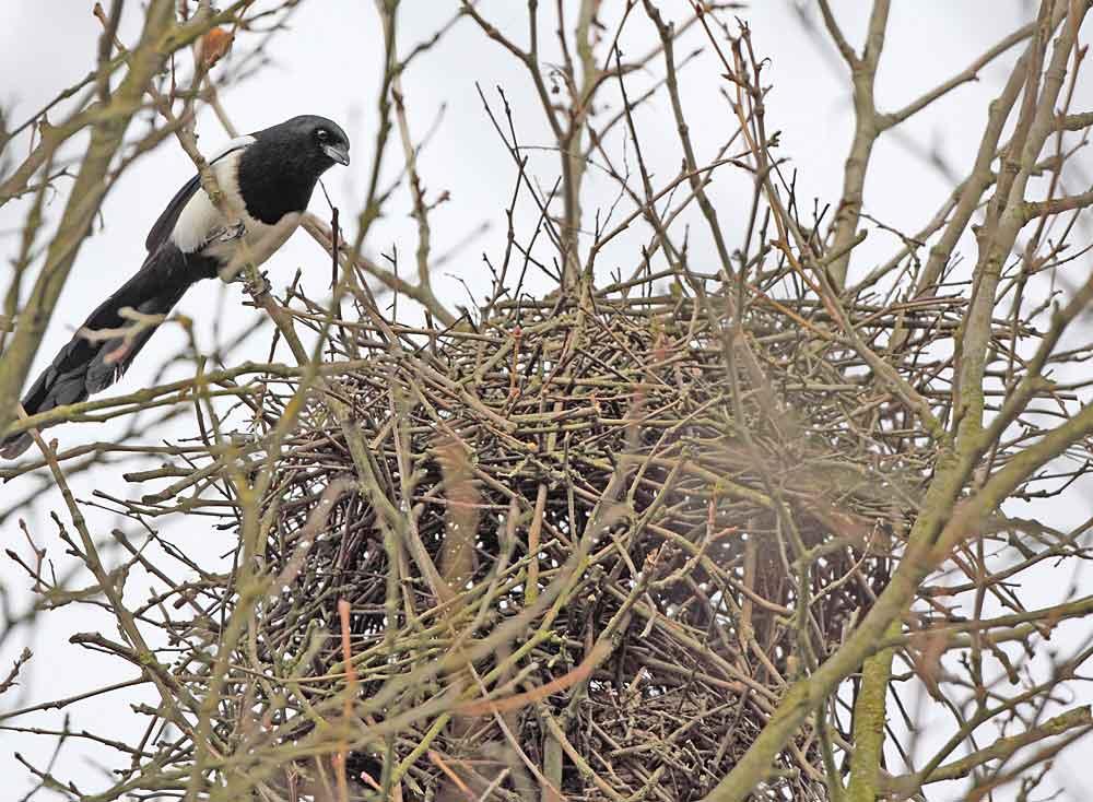 Elster in Fröndenberger Innenstadt prüft altes Nest, 09.02.11 Foto: Bernhard Glüer