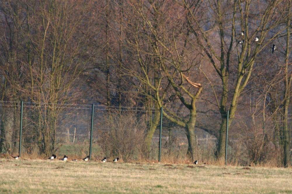 Elstern im Hammer Wasserwerk bei Fröndenberg am 22.02.2011 Foto: Gregor Zosel