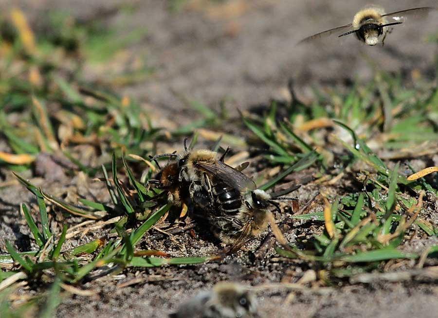Erdbienen mit Königin am Steinhorster Becken am 02.04.2011 Foto: Martin Wenner