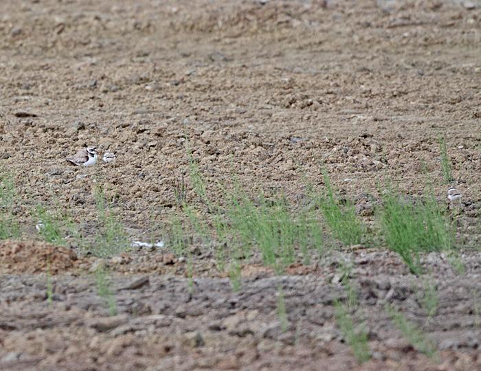 Flussregenpfeifer mit drei Küken, 19.06.2011, Foto: Bernhard Glüer