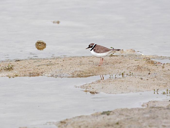 Einer von mindestens 5 adulten Flussregenpfeifern, 19.06.2011, Foto: Bernhard Glüer