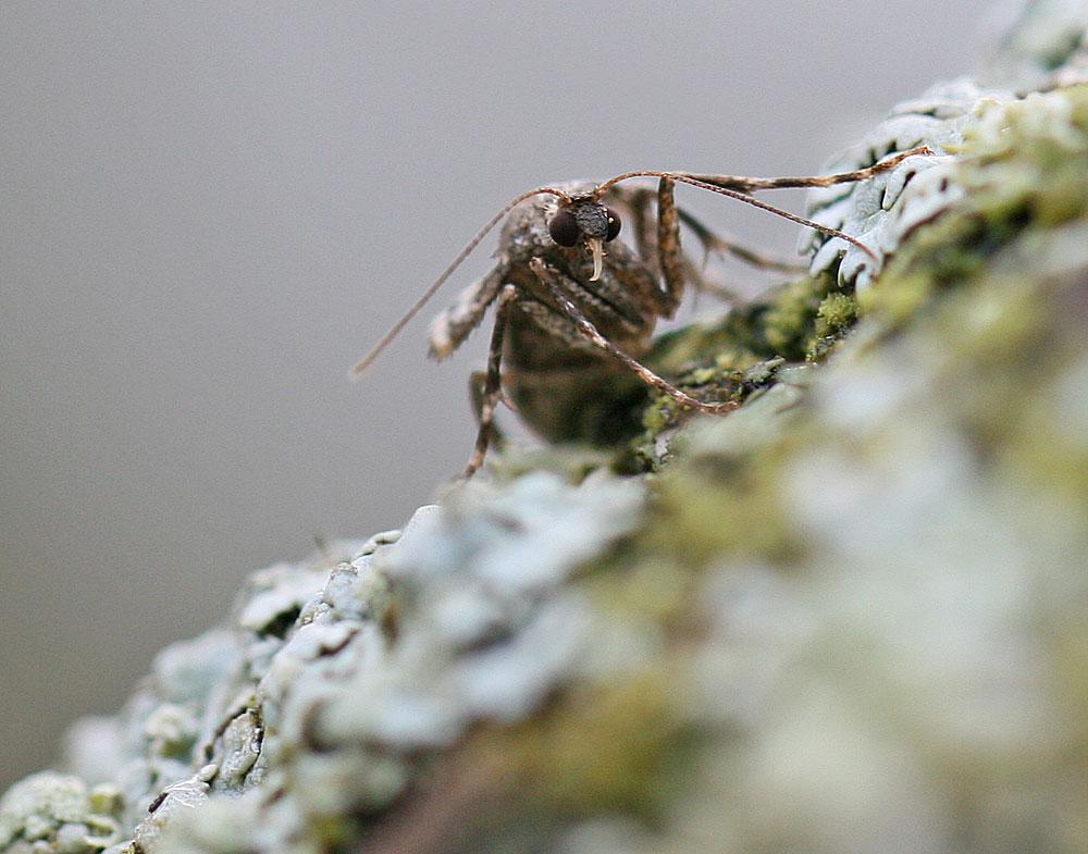... mit dem prall eiergefüllten Hinterleib sind die Frostspannerweibchen nicht nur für Baumläufer leckere Happen, 29.11.2011 Foto: Bernhard Glüer