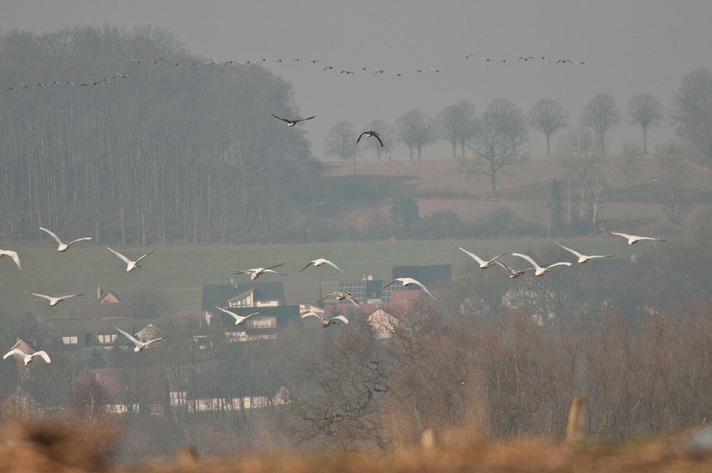 Durch Schüsse ausgelöste Fluchtreaktion von Wasservögeln in der Ruhraue bei Wickede am 29.01.2011 Foto: Meinolf Stritzek