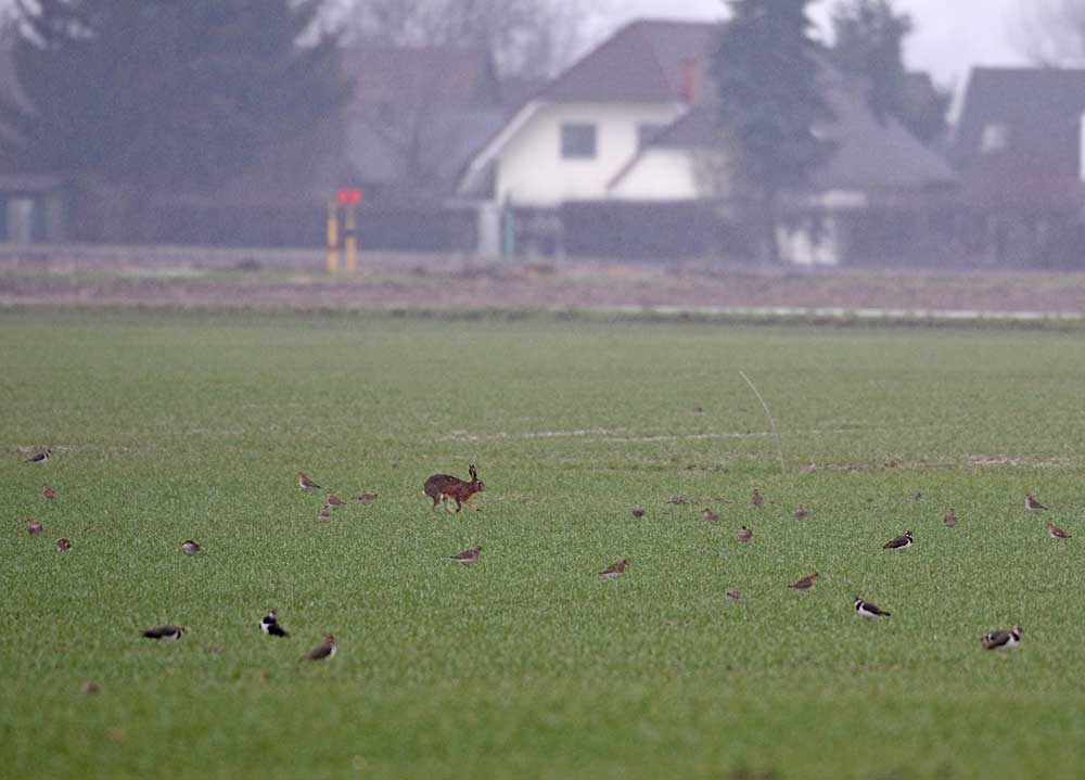 Feldhase läuft durch den rastenden Golregenpfeifertrupp (Hemmerder Ostfeld), 12.02.11 Foto: Bernhard Glüer