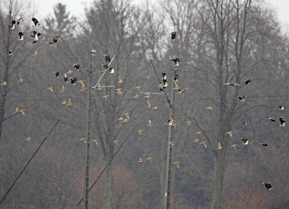 Goldregenpfeifer mit Kiebitzen fliegen ..., 12.02.11 Foto: Bernhard Glüer