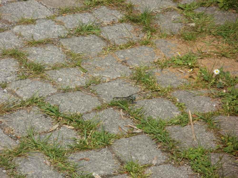 Gemeine Keiljungfer in Dortmund, 11.06.2011 Foto: Volker Heimel