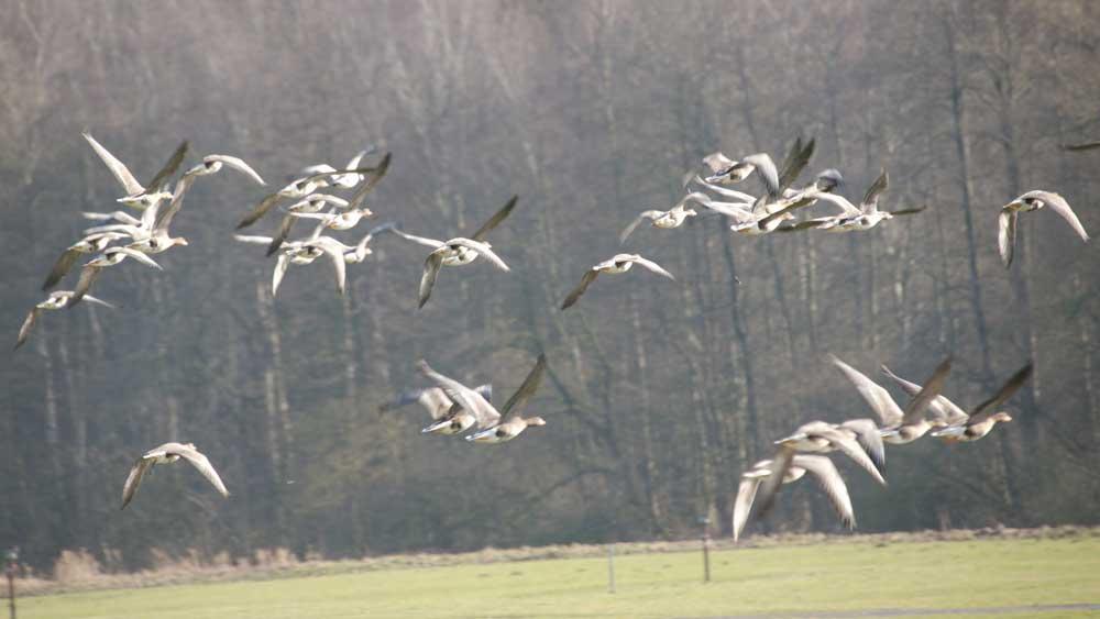 Auffliegender Gänsetrupp bei Fröndenberg-Altendorf am 13.02.2011 Foto: Karl Heinz Beck