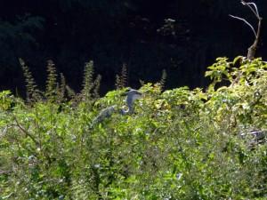 Graureiher am Stadtsee in Werne am 04.06.2011 Foto: K.Nowack