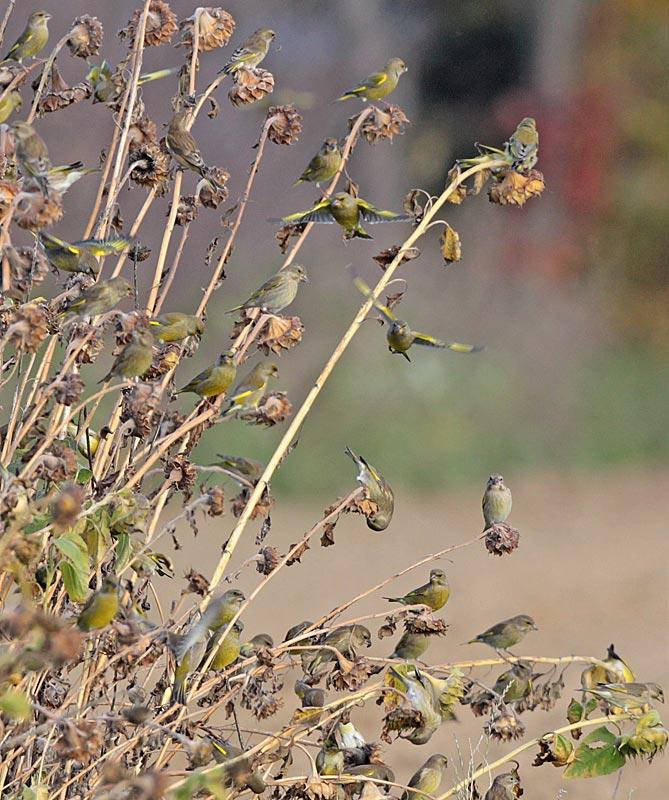 Das `große Fressen´ - Grünfinken an Sonnenblumen, 02.11.2011, Foto: Bernhard Glüer