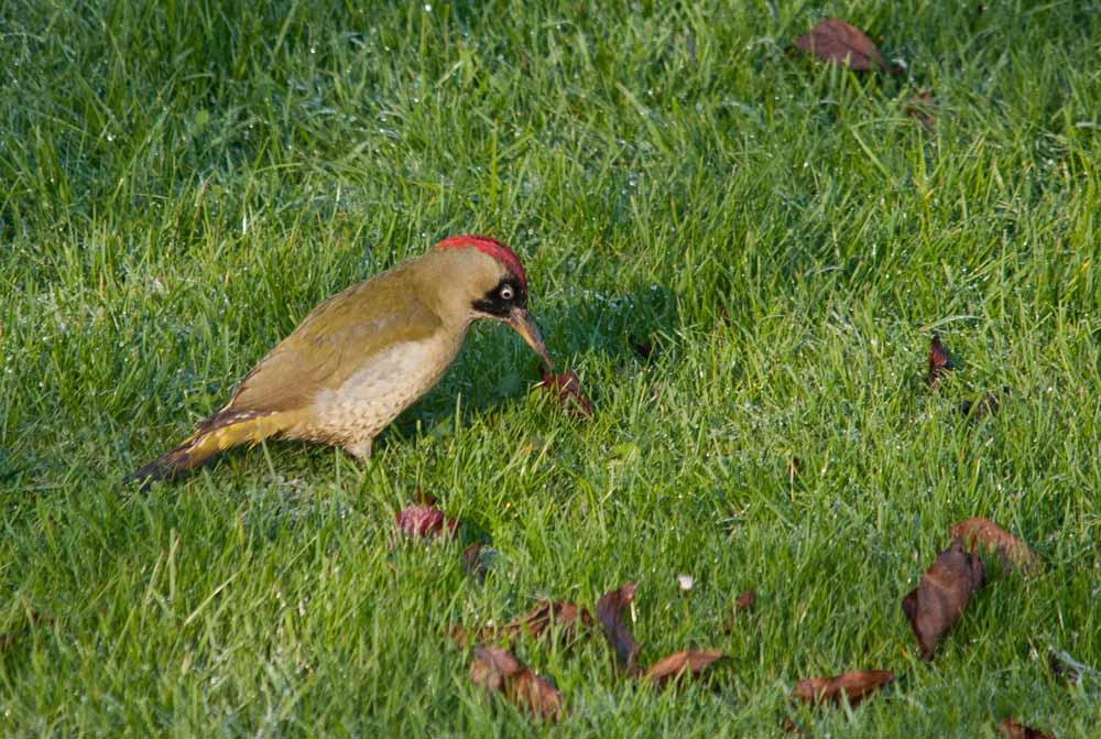 Grünspecht-Weibchen bei der Nahrungssuche in Lünen am 22.11.2011 Foto: Andreas Nickel