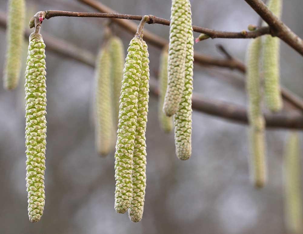 Männlich Blüten des Haselnussstrauches..., 16.01.11 Foto: Bernhard Glüer
