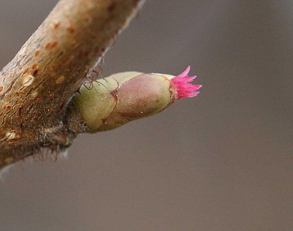 ... mit den unscheinbar wirkenden weiblichen Blüten, die von Knospen-Hüllblätten geschützt werden, 16.01.11 Foto: Bernhard Glüer
