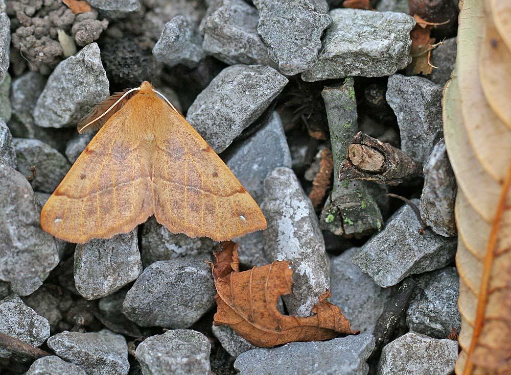 Ein anderer Gast unter der herbstlich/nächtlichen Lichtquelle - ein Herbstspanner (Colotois pennaria), 19.11.2011 Foto: Bernhard Glüer