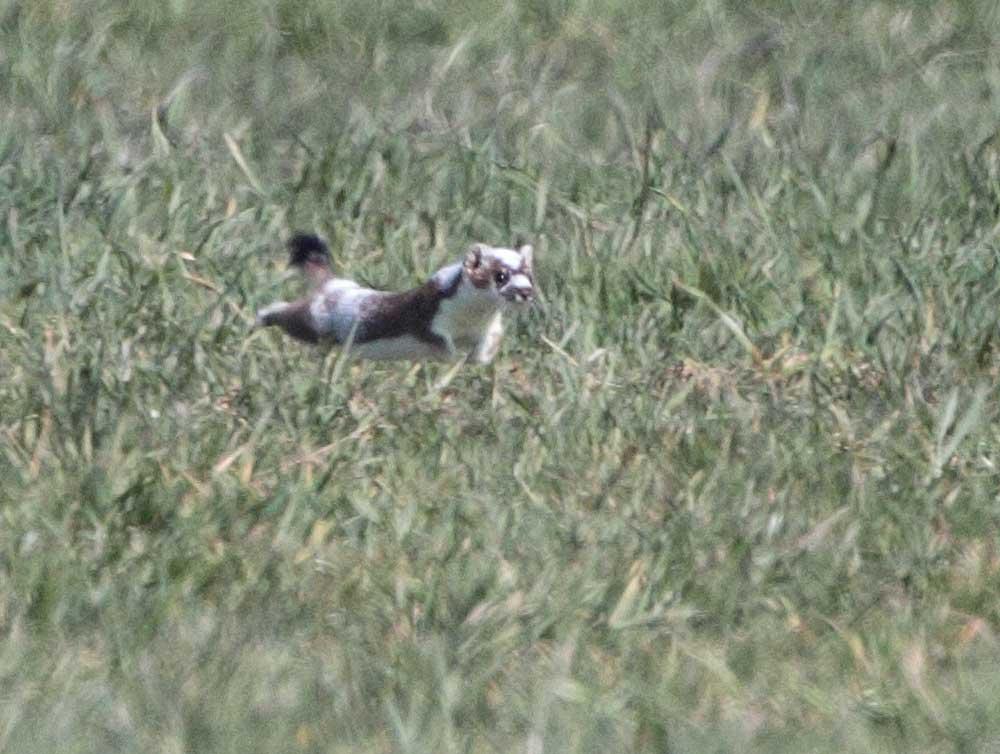 ...jagt wieselflink Mäusen hinterher..., 27.03.2011 Foto: Bernhard Glüer