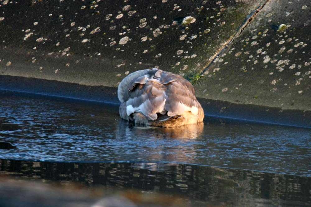 Höckerschwan, geschwächt in/auf der Eisfläche im Hammer Wasserwerk, 29.01.11 Foto: Gregor Zosel