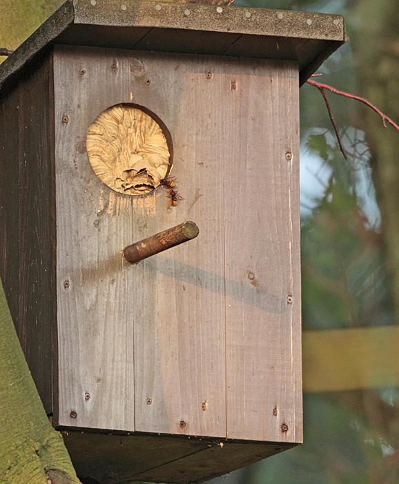 Waldkauznistkasten mit `Fremdbelegung´ - Hornissen haben den Kasten für Waldkäuze vorübergehend unbewohnbar gemacht (Fröndenberg), 16.09.2011, Foto: Bernhard Glüer