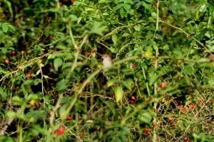 Eine juv. Mönchsgrasmücke an der Ökologiestation in Bergkamen-Heil am 11.09.2011 Foto:K.Nowack