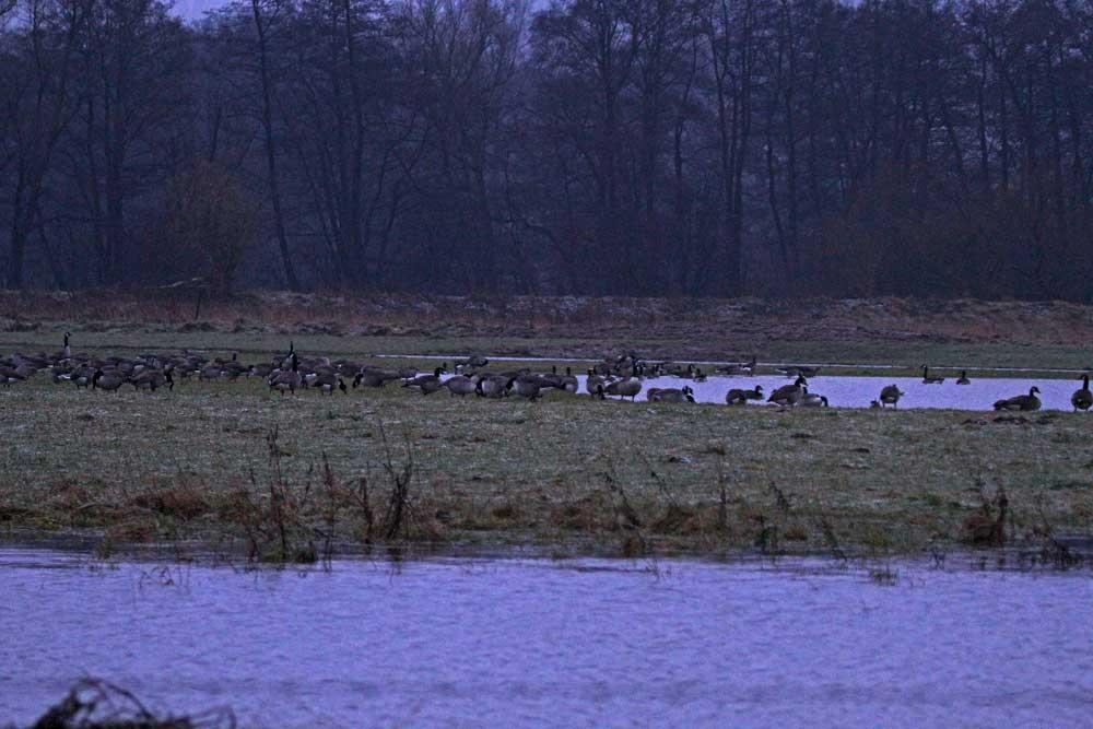 Hier verbrachten etwa 200 Gänse die nasskalte Nacht am 18.12.11 Foto: Gregor Zosel