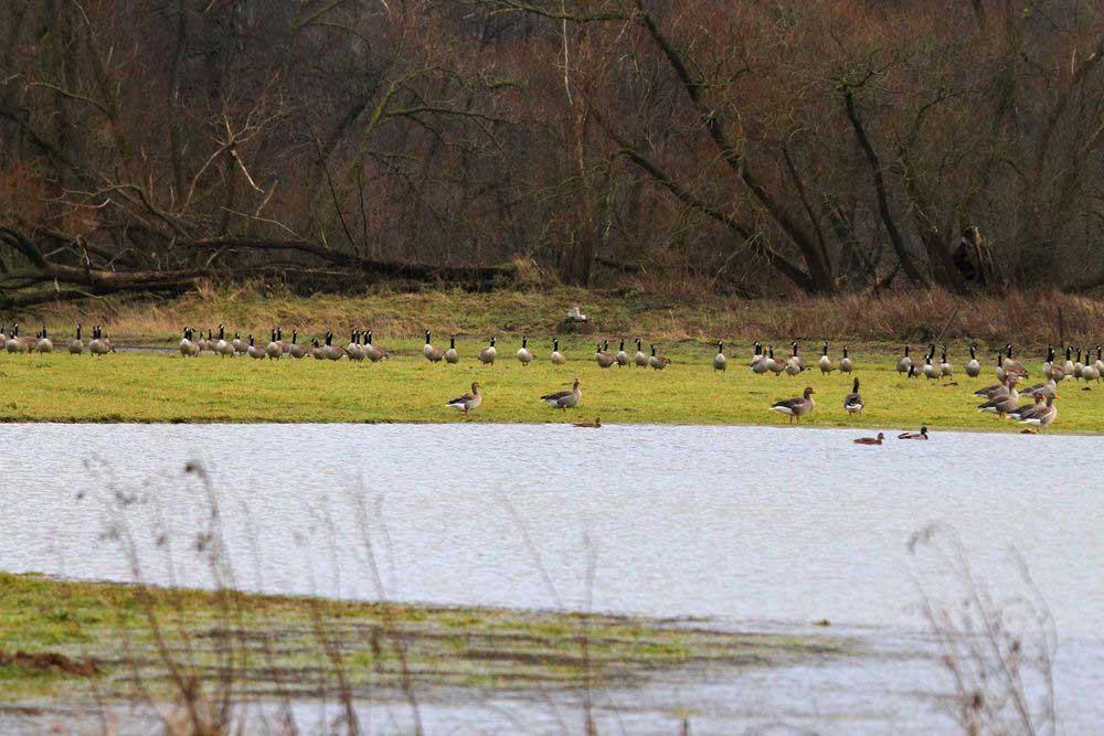 Gänsescharen an der Gewässern der Kiebitzwiese am 19.12.11 Foto: Gregor Zosel