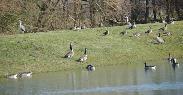 Gänseragout aus 4 Arten bei Fröndenberg-Altendorf am 13.02.2011 Foto: Karl Heinz Beck