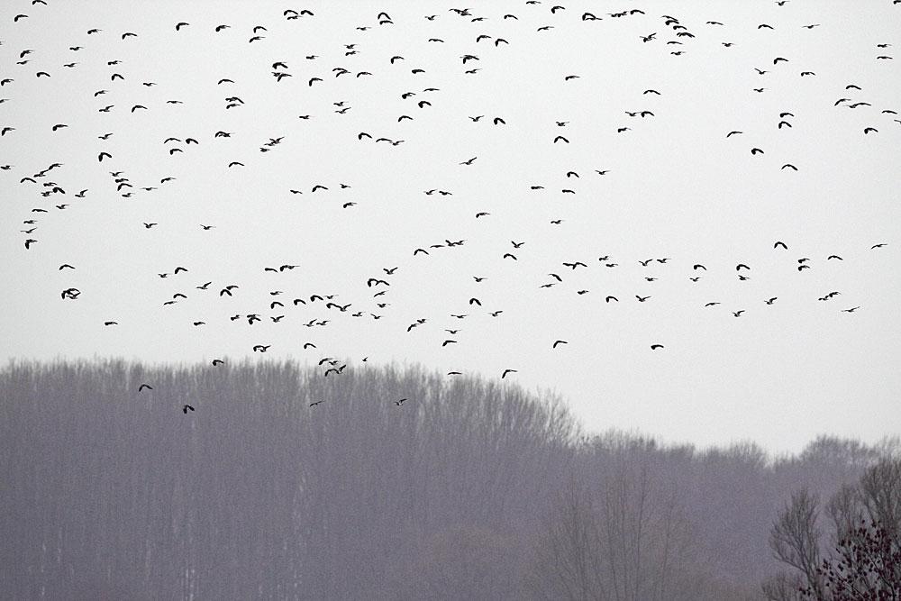 Kiebitz-Masseneinflug über den Hemmerder Wiesen... 12.02.11 Foto: Bernhard Glüer