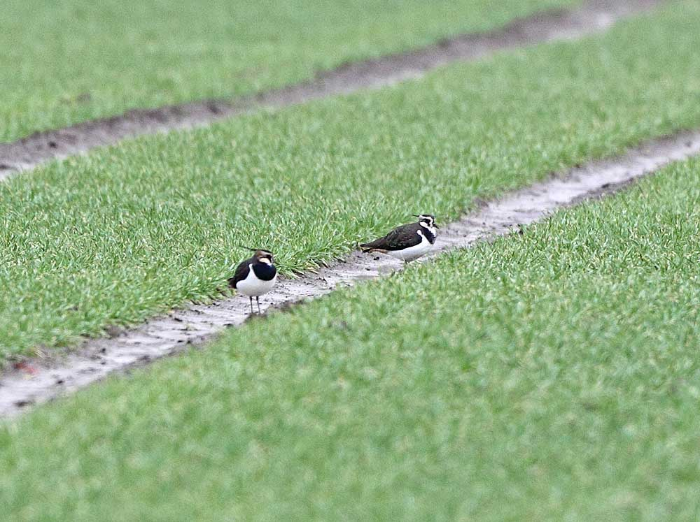 Kiebitze - vorn ein Männchen und dahinter ein Weibchen (Westhemmerde), 16.01.11 Foto: Bernhard Glüer
