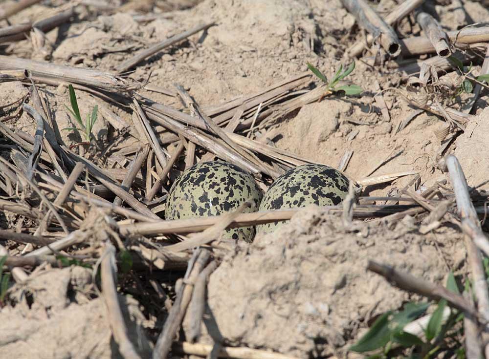 ... das letzte Bild vom Gelege, das aus nur 2 Eiern besteht - ein Ersatzgelege für eine bereits verlorene Brut, 18.04.2011 Foto: Bernhard Glüer