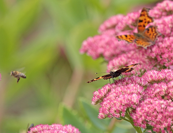 Kleiner Fuchs mit C-Falter und Honigbiene auf Sedumblüte, 16.09.2011, Foto: Bernhard Glüer