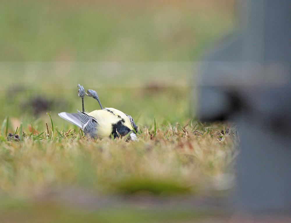 Kohlmeise als Scheibenanflugopfer am Buswartehäuschen vor dem alten Friedhof in Bönen, 04.12.2011 Foto: Bernhard Glüer