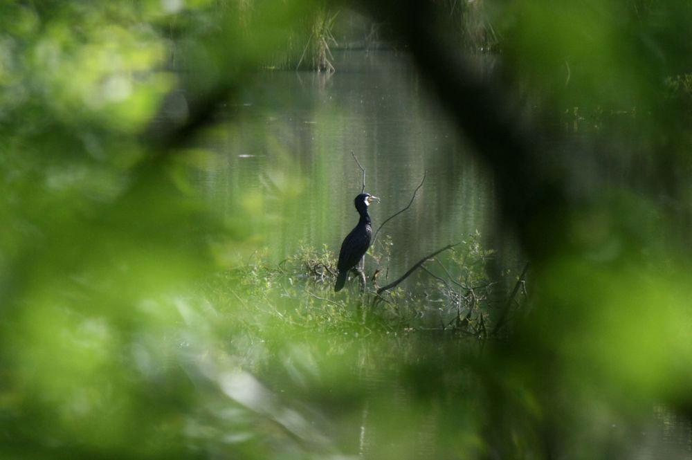 Der Blick durch die Ufervegetation läßt einen Kormoran erkennen am 04.06.11 Foto: Gregor Zosel