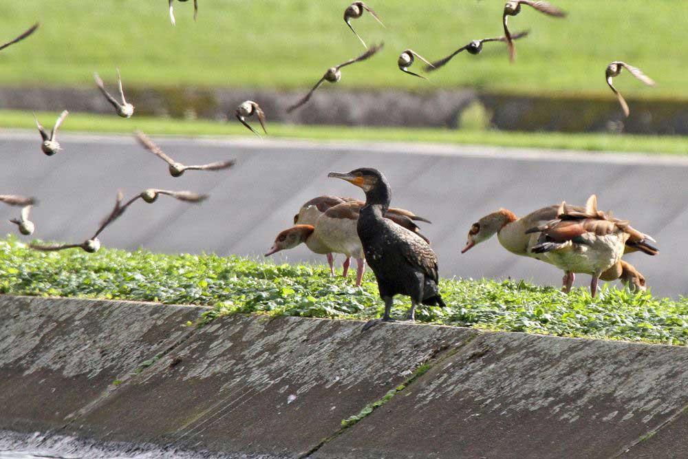 Auch einem Kormoran fliegen die Stare um die Ohren am 28.08.11 Foto: Gregor Zosel