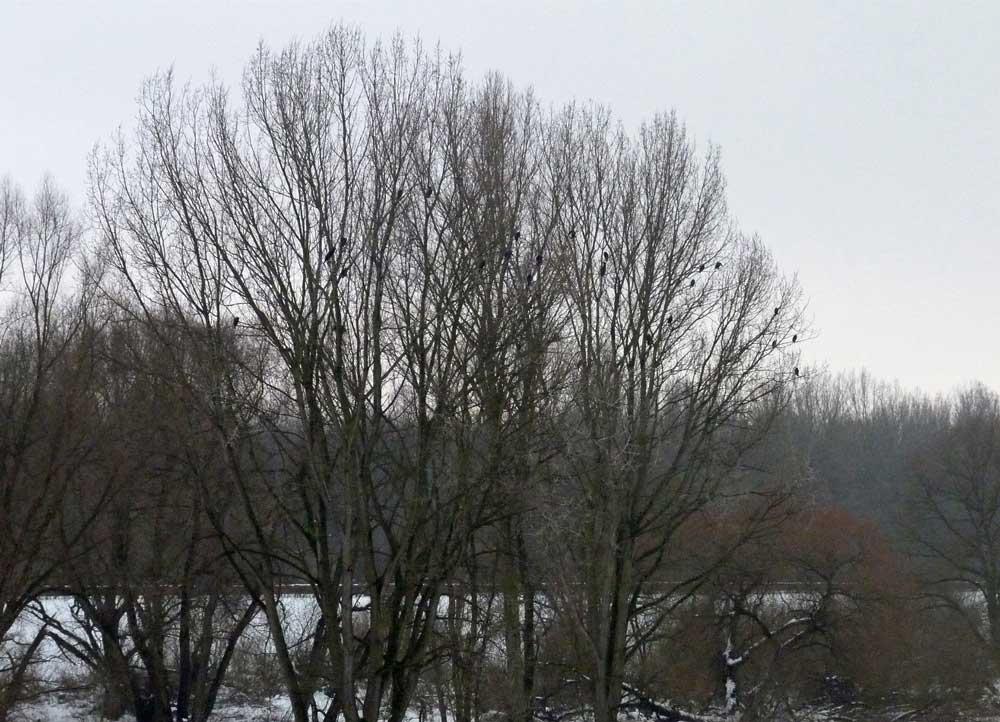 Kormorane im NSG Lippeaue zwischen Wethmar und Lünen am 03.01.2011 Foto: Klaus Ashoff