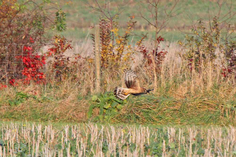 Kornweihe streift an einer Hecke im Warmer Löhen entlang am 01.11.11 Foto: Gregor Zosel